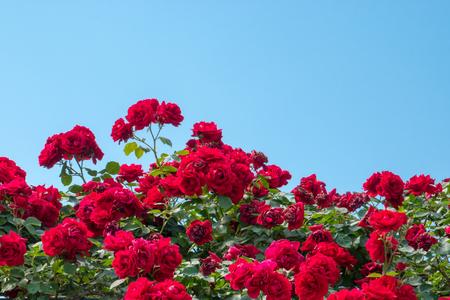 Rose bush in front of blue sky