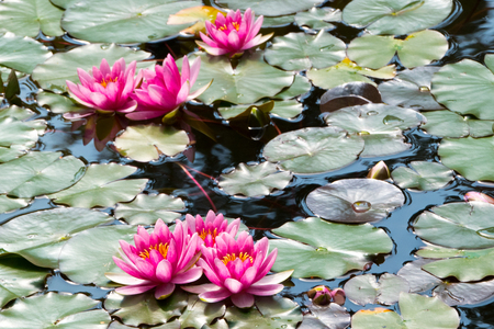 Water lilies, lotus flowers in the pond