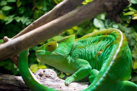 chameleon, reptile. green