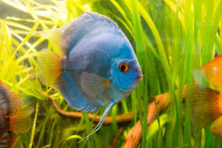Discus fish, Symphysodon aequifasciatus