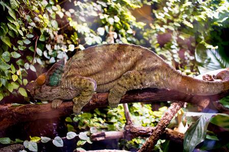 Chameleon, reptile, brown Stockfoto
