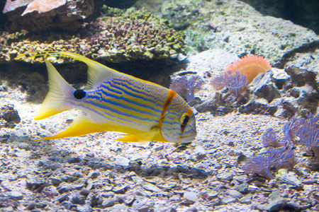 Fish in the coral reef, Symphorichthys spilurus