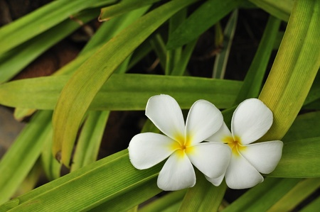 Frangipani flowers. photo
