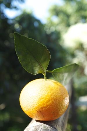 tangerine tree: Orange