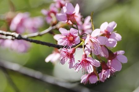 Wild Himalayan cherry Rosaceae flower