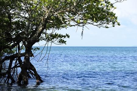 Mangrove forest Location Krabi Thailand. photo