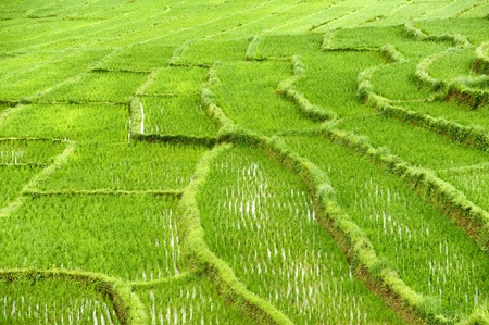 Rice Field in Chiangmai, Thailand photo