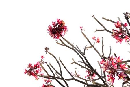 Frangipani flowers : Vector illustration Illustration