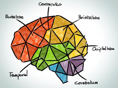 occipital: Brain sketchbook