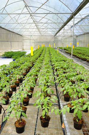 agriculture industrial: Tomato cultivation seedlings Stock Photo