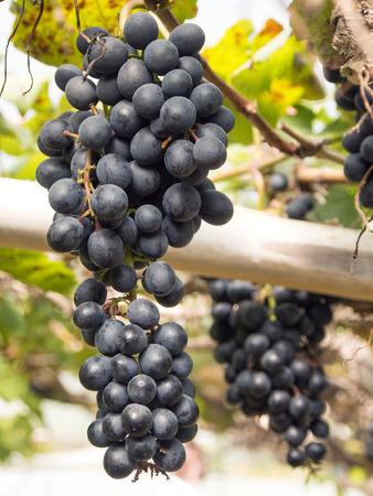 grape field: Grapes cultivation