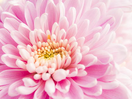 chrysanthemum: Chrysanthemum flower Stock Photo