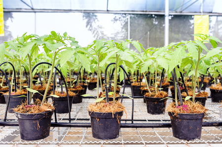 field study: Tomato cultivation : Cultured seedlings