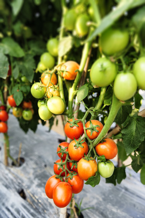 asian produce: Tomato cultivation