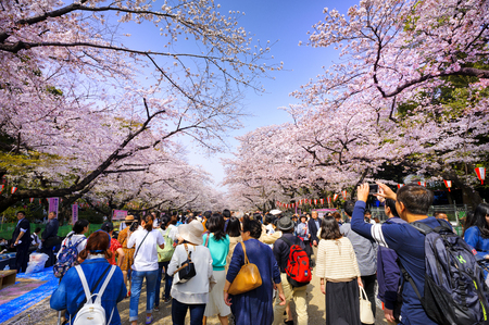 TOKYO JAPAN - MARCH 29, 2018 : Ueno Park, Unidentified tourists visit the cherry blossom. this phenomenon only once year. It is attractive to both Japanese and foreigners, most popular landmarks. 에디토리얼