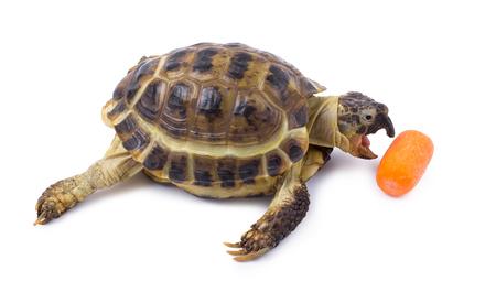 eats: The turtle eats carrots
