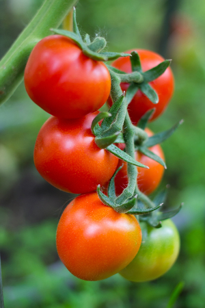 hotbed: Ripe tomato on a branch in a hotbed