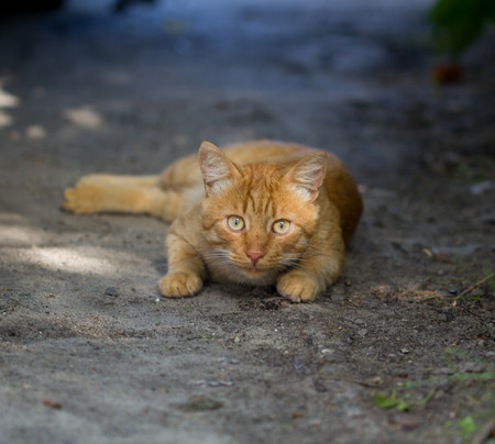lies: The orange cat lies on the street with the small depth of sharpness