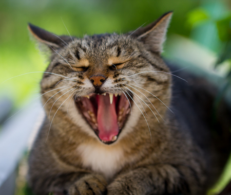 sharpness: The striped cat yawns on the street with the small depth of sharpness