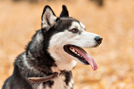 Adult dog Husky with brown eyes in autumn park stuck out his tongue. Landscape in warm colors