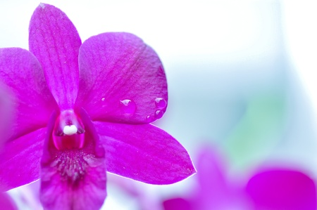 dewdrop: the purple orchid with a dewdrop  Stock Photo