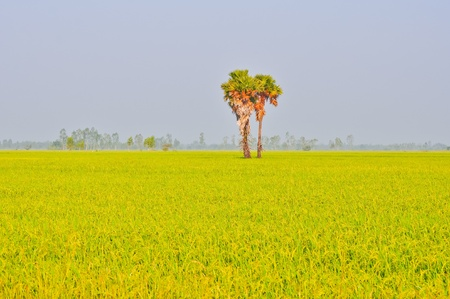 toddy plam in the rice field with sky background photo