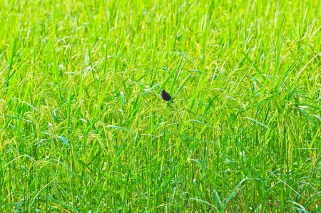 a small bird in rice field, alone bird photo