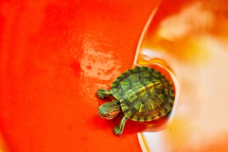 a small turtle with orange background Stock Photo - 13149778