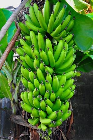 Régime de bananes, bananes grands Banque d'images - 14165654