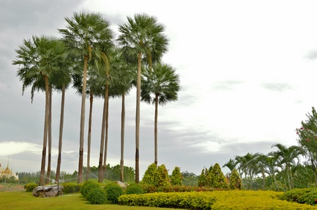 the palm trees  in green garden photo