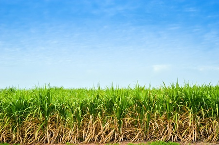 sugar cane trees with sky background in thailand,industrial crop  photo