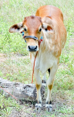 beef cow in grassland,native cow in thailand Stock Photo - 14889225