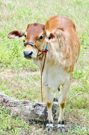 beef cow in grassland,native cow in thailand Stock Photo - 14889203