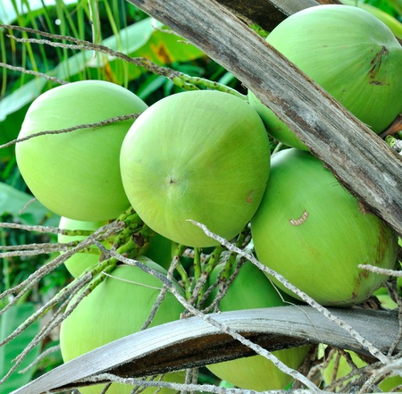coconuts ,coconut tree Stock Photo