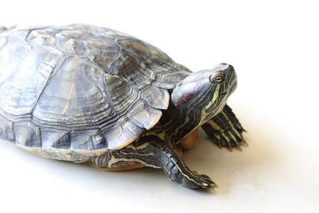 Turtle on background