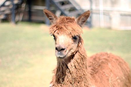 alpaca: Llama,lama,alpaca