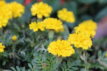 florescence: chrysanthemum Stock Photo