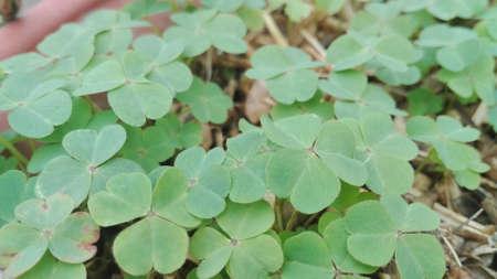 fourleaf: Four-leaf clover