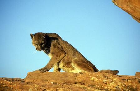 Adult Mountain Lion seated on top of a rock. photo