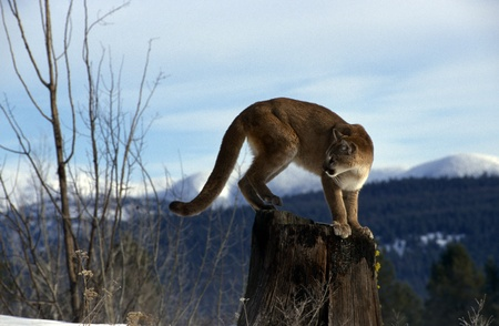 standing lion: Adult Mountain Lion perched atop a snag.