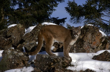 cougar: Adult Mountain Lion standing in profile with snow.