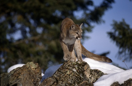 Adult Mountain Lion crouched looking for prety. photo