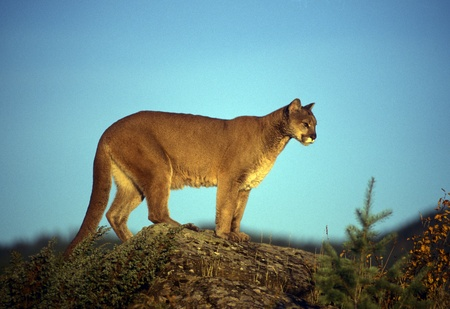 puma cat: Adult mountain lion perched on a ridge alone.