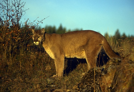 Adult mountain lion perched on a ridge. photo