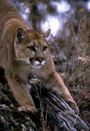 cougar: Front-on shot of a mountain lion crouched. Stock Photo