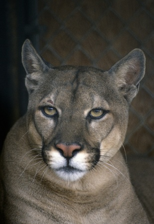 puma cat: Beautiful close-up mountain lion face in the shadows