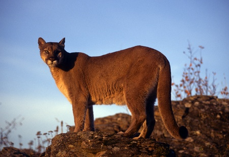 puma cat: Adult mountain lion perched on a ridge.