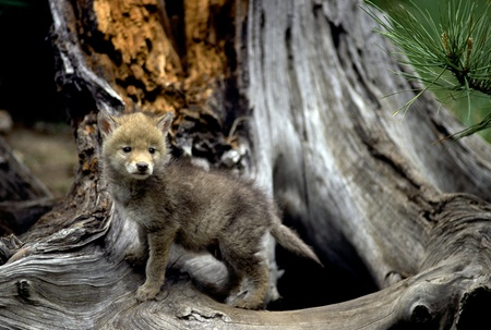 terrestrial mammals: Curious coyote pup at the base of a tree.