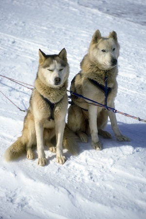terrestrial mammals: A pair of sled dogs harnessed. Stock Photo
