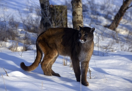 cougar: An adult mountain lion standing in the snow. Stock Photo